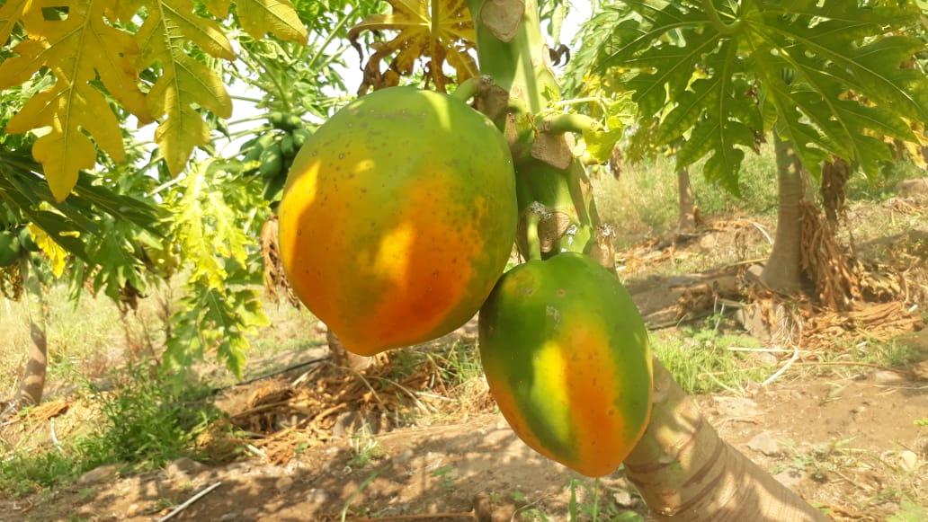 Papaya Honey Dew