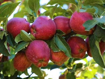 Royal Delicious Apples